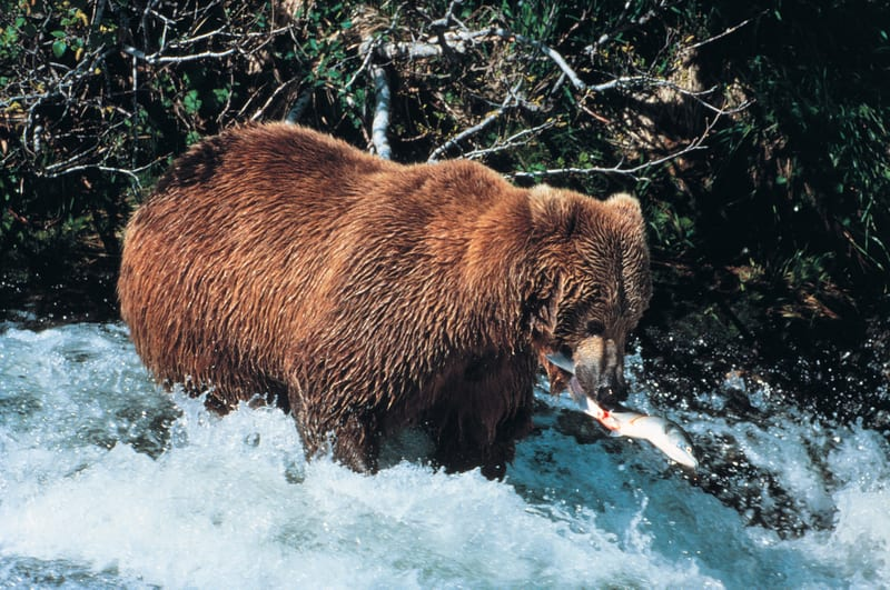 Brown bear catching salmon is a great example of sight fishing